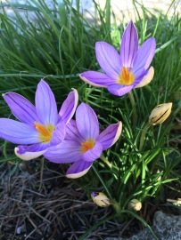 Crocus 'Pickwick'