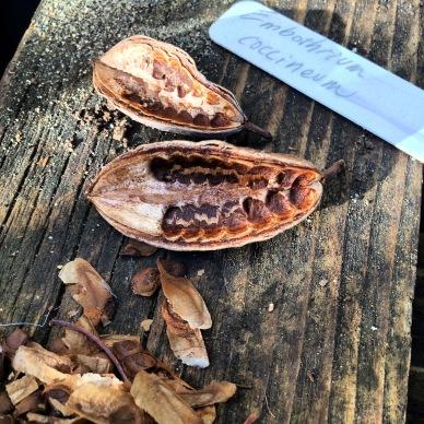 Embothrium coccineum seeds