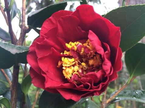 Camellia 'Bob Hope'