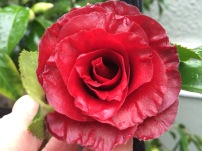 Camellia 'Black Magic'